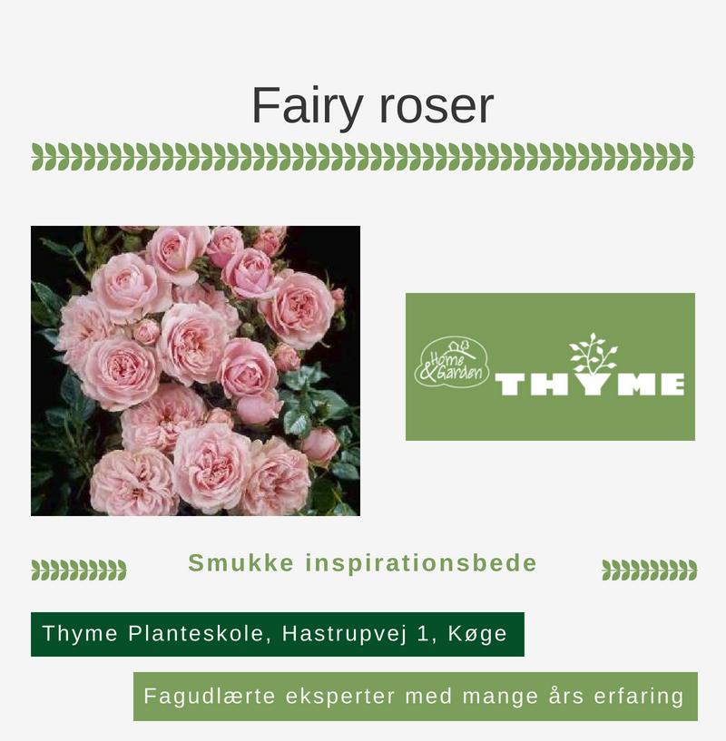 Ubrugte Fairy roser hos Thymes Planteskole i Køge. Handl-Lokalt.dk GW-72